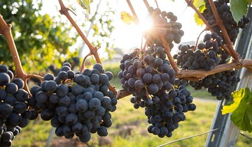 The Farm Business Innovation Show : Why Farmers Should Consider Diversifying Into Growing Grapes